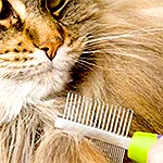 New article about Maine Coons