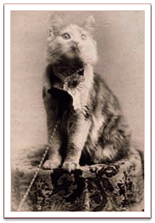 Maine State Champion Coon Cat, 1895